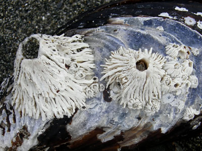 Thatched Barnacle