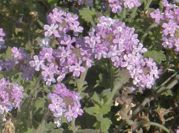 Desert Verbena, Glandularia gooddingii