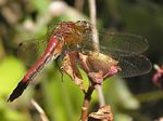 Striped Meadowhawk Dragonfly