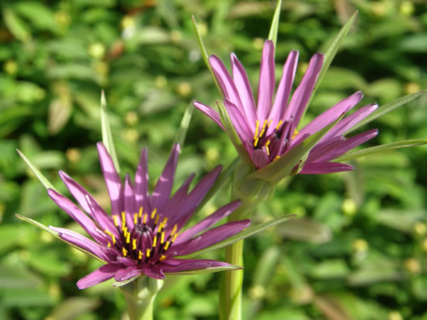 Purple Salsify, Tragopogon porrifolius