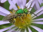 Green Metallic Bee