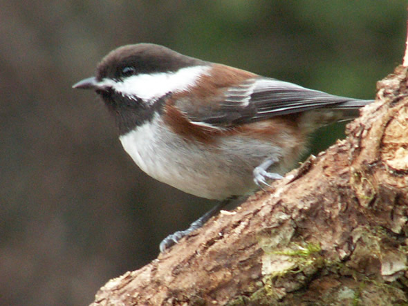 Chestnut-backed Chickadee, Poecile rufescens