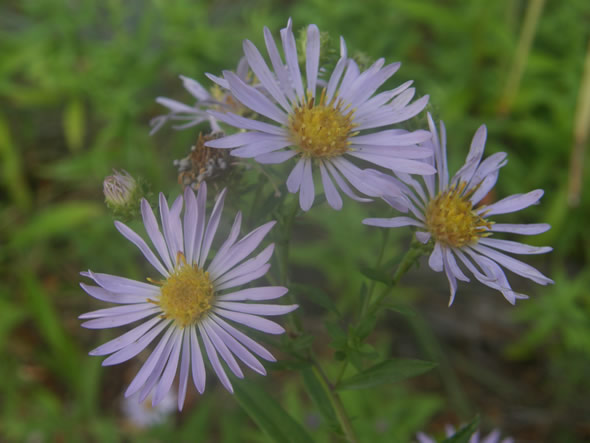 Common California or Pacific Aster, Aster chilensis or Symphyotrichum chilense