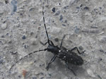 White-spotted Sawyer Beetle