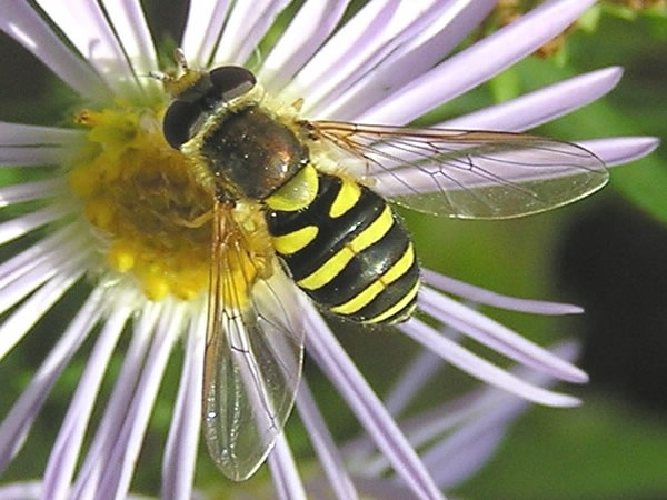 Hoverfly, Eupeodes fumipenniss