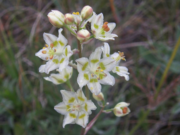 Mountain Death-Camas, Zigadenus elegans