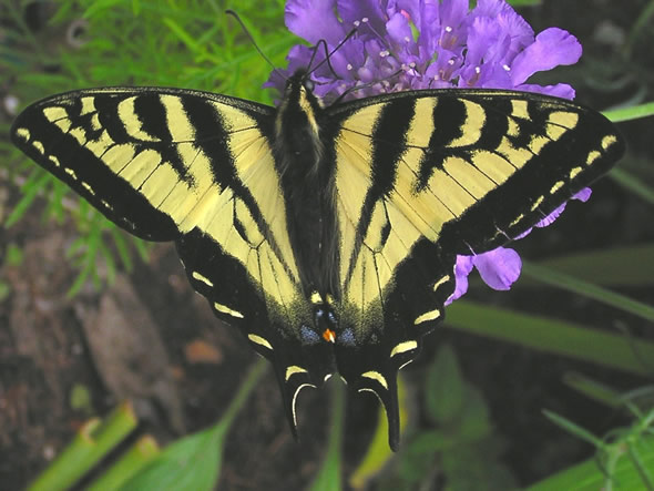 Western Tiger Swallowtail Butterfly, Papilio rutulus