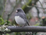 Gray-slated Junco