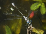 Northern Spreadwing Damselfly