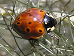 Rathvon's Lady Beetle