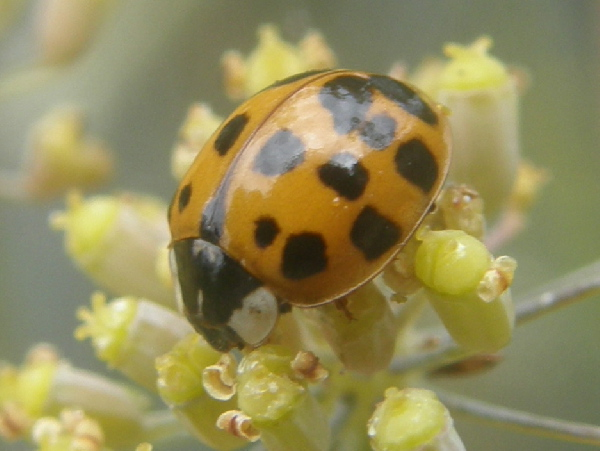 Asian Lady Beetle, Harmonia axyridis