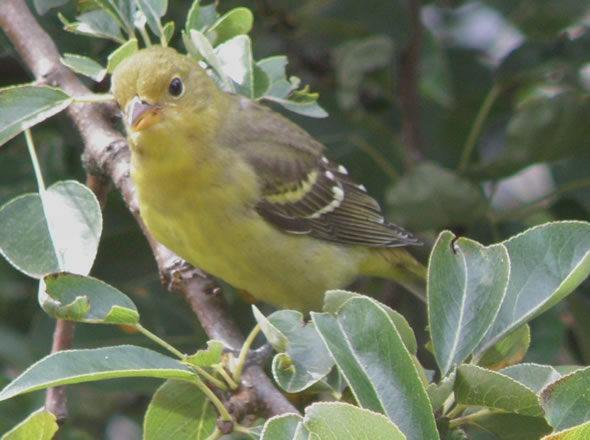 American Goldfinch, Carduelis tristis, (female)