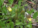 Yellow Mountain-avens
