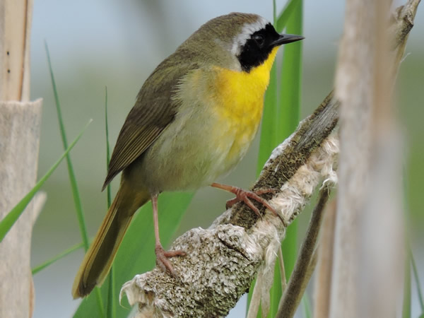 Common Yellowthroat Warbler, Geothlypis trichas