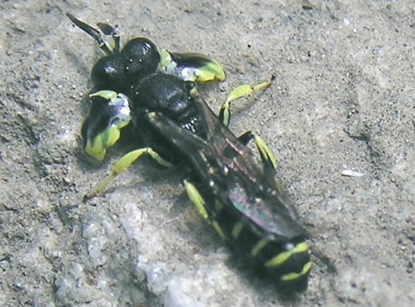 Sphecid Wasp, Crabo latipes