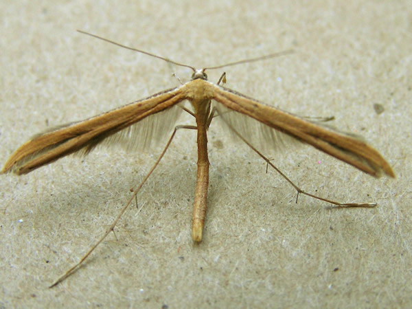 Morning Glory Plume Moth, Emmelina monodactyla
