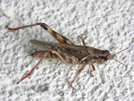 Spur-throated Grasshopper