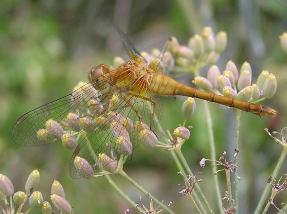 Yellow-legged Meadowhawk, Sympetrum vicinum