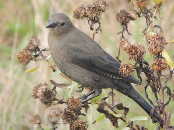 Female Brewer's Blackbird, Euphagus cyanocephalus