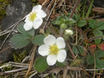 Wild Strawberry, Fragaria virginiana