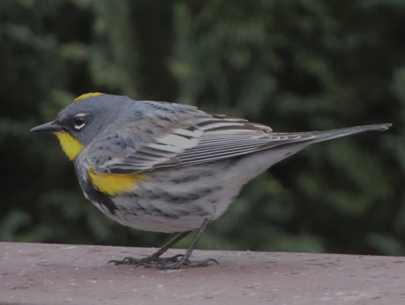 Yellow-rumped (Audobon's) Warbler