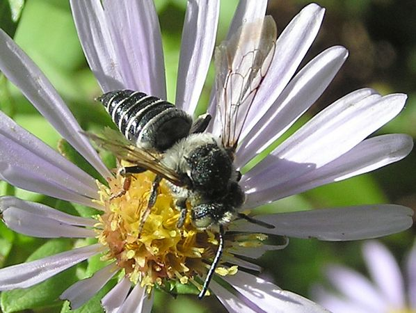 Red-footed Cuckoo-leaf-cutter Bee, Coelioxys rufitarsis