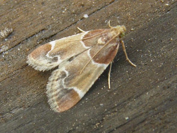 Meal Moth, Pyralis farinalis