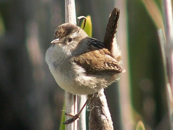 Marsh Wren, Cistothorus palustris