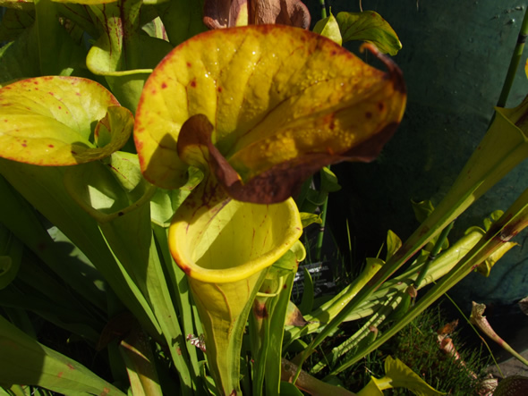 Hooded Pitcher Plant, Sarracenia minor