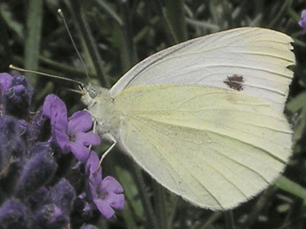 Cabbage White Butterfly, Pieris rapae
