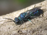 Pacific Cuckoo Wasp