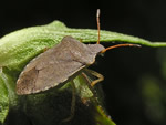 Consperse Stink Bug