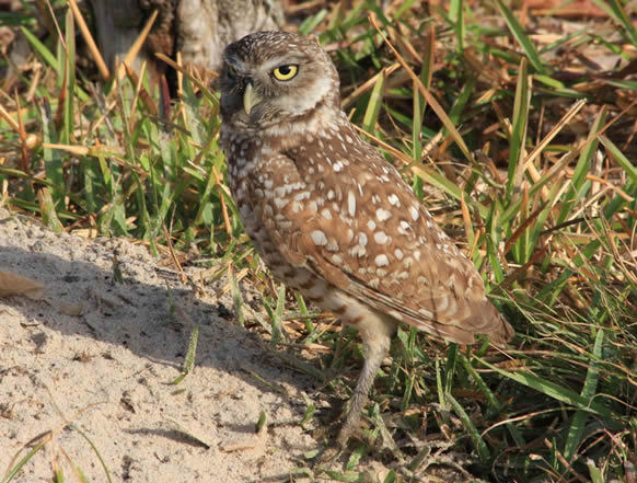 Burrowing Owl, Athene cunicularia - photo by Janiskay
