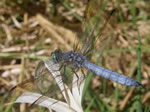 Blue Dasher Dragonfly, Pachydiplax longipennis
