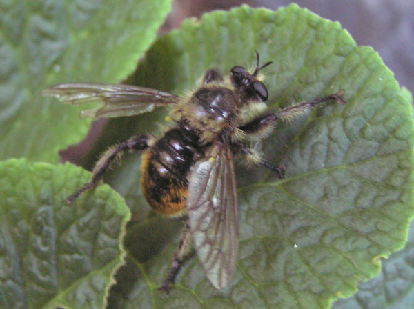 Bumblebee Robber Fly, Laphria janus