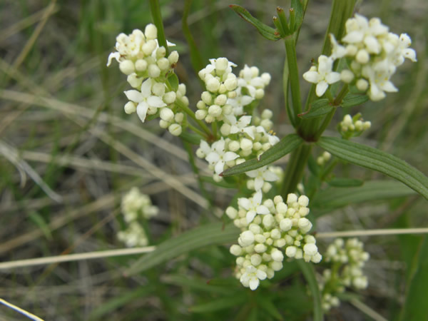 Northern Bedstraw, Galium boreale