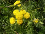 Northern Dune Tansy