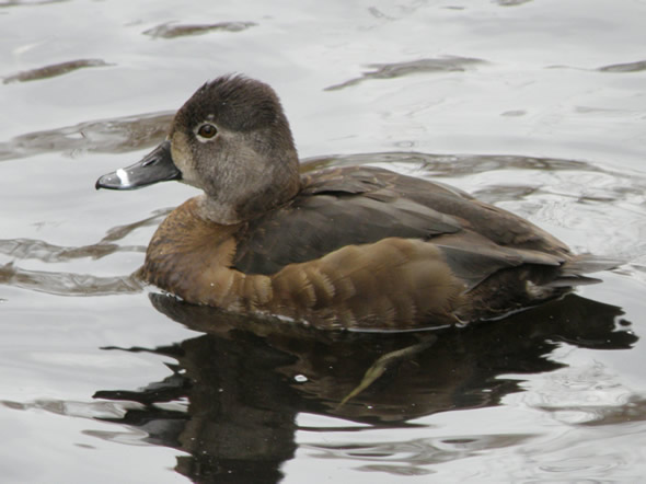 Ring-necked Duck, Aythya collaris, female
