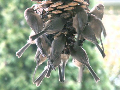 Bushtits enjoying homemade suet