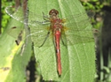 Dragonflies At-A-Glance