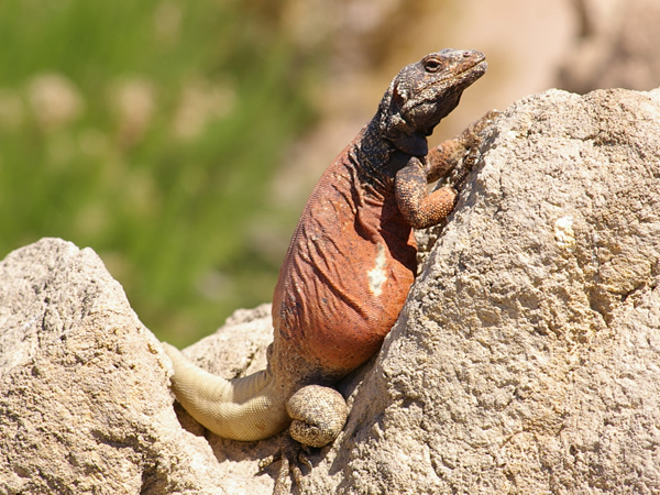 A Chuckwalla Lizard welcomes you to the Reptiles and Amphibians Corner.