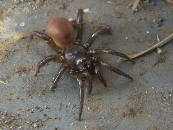 Folding Trapdoor Spider & Trapdoor Spider