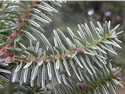 Tree Trivia 1 - The Conifers