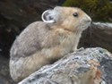 The American Pika